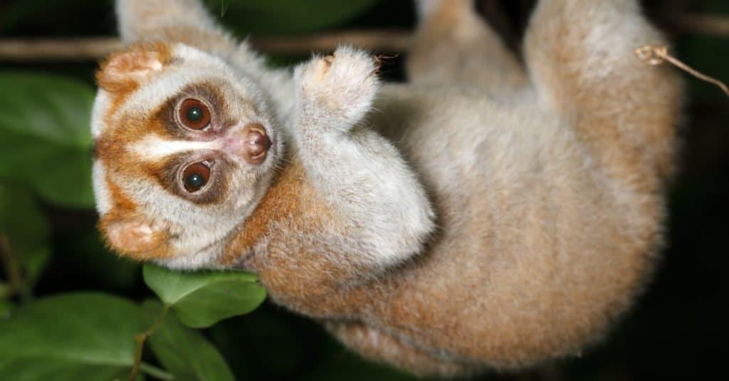 Animal Facts: Slow Loris