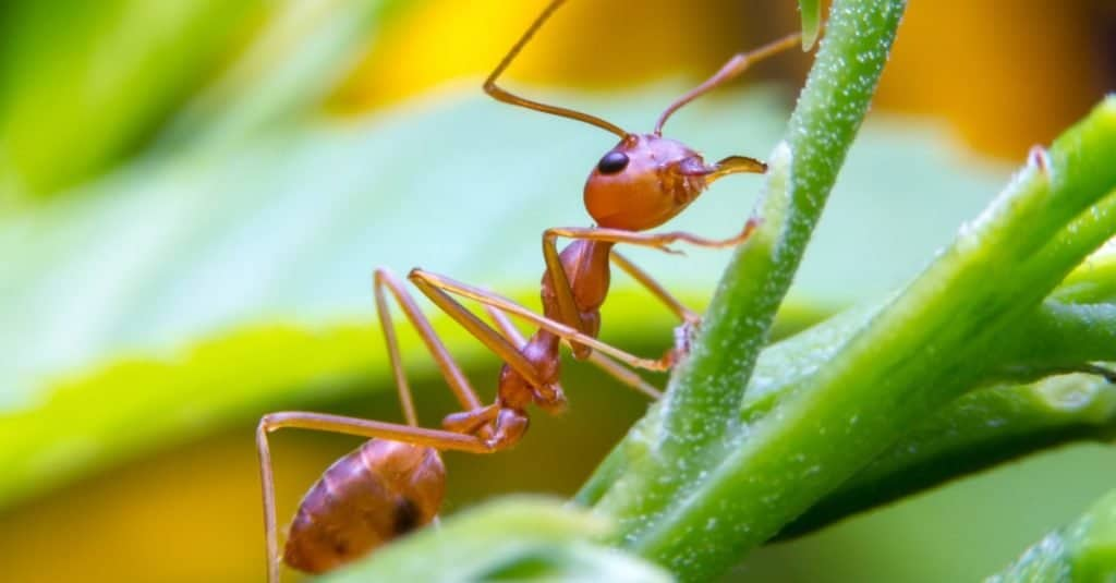 Animal Facts: Worker Fire Ants