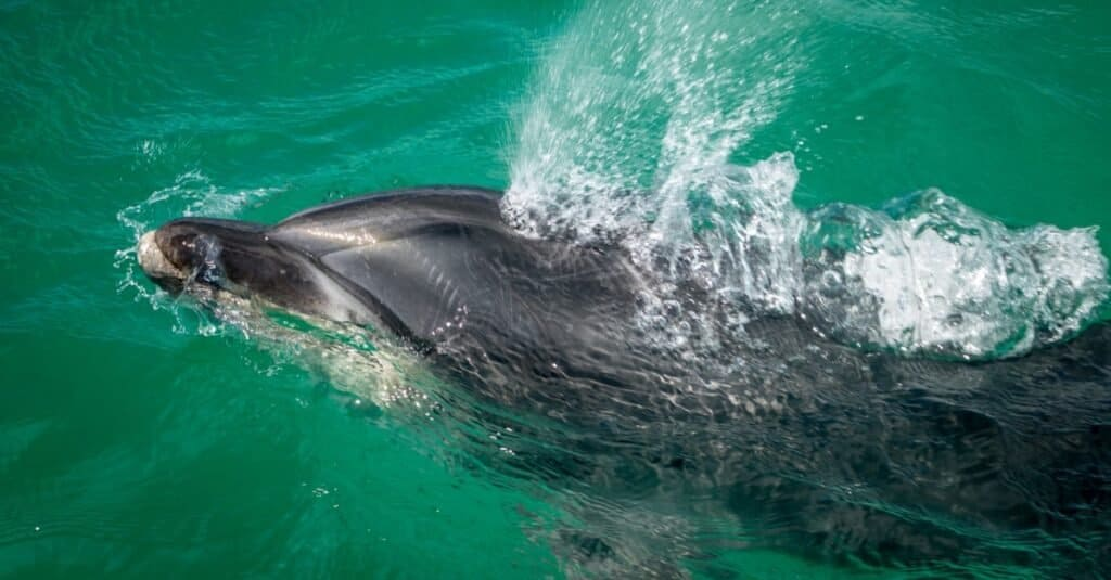 Are Dolphins Mammals - blowhole