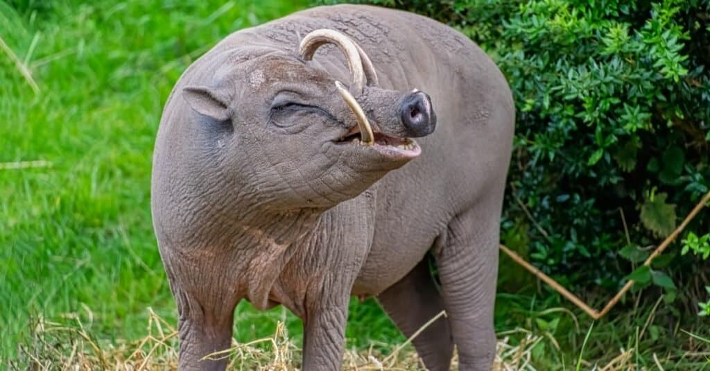 The Babirusa's name means pig deer after their unusual appearance!