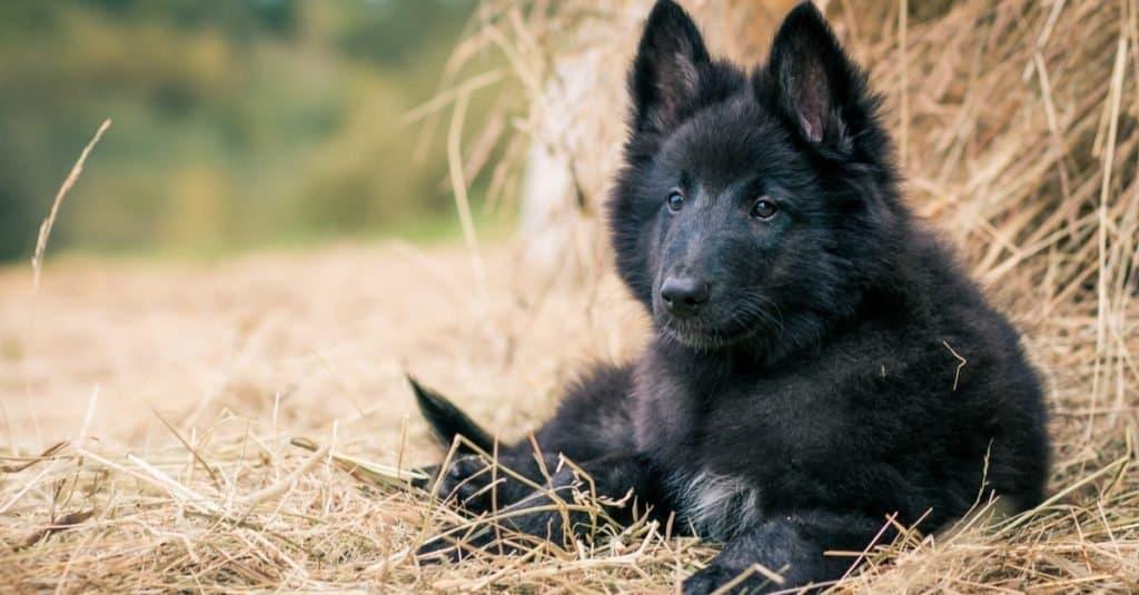 Belgian Shepherd puppy posing outside on the grass.