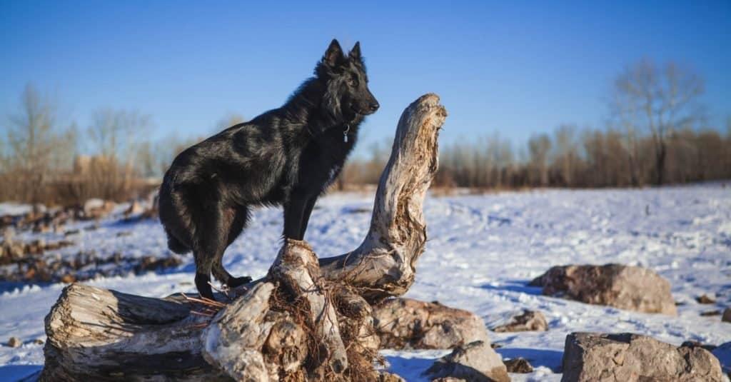 Belgian shepherd dog in a snowy forest in the winter.