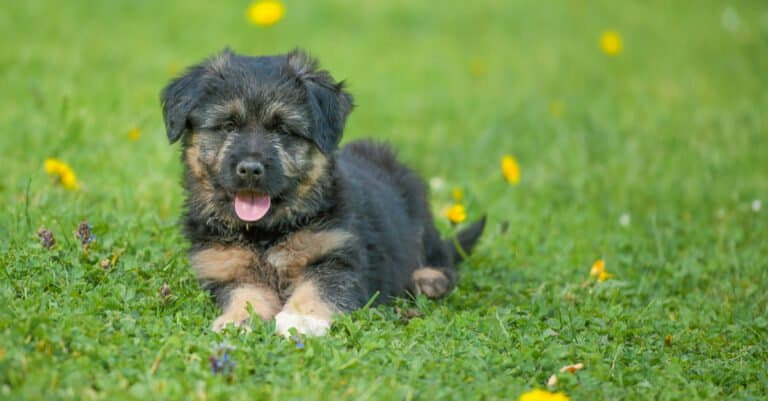Bergamasco puppy in a meadow