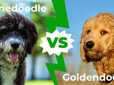 A Bernedoodle vs Goldendoodle: The 6 Key Differences Explained