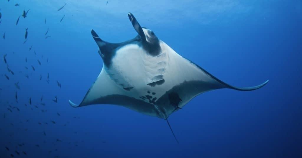 Biggest Fish: Giant Ocean Manta Ray