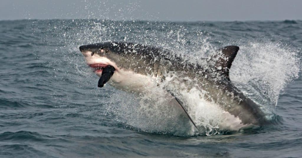 Biggest Fish: Great White Shark