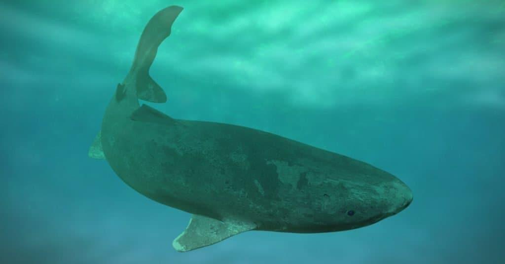 Biggest Fish: Greenland Shark