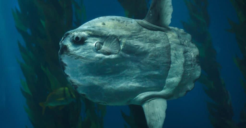 Biggest Fish: Ocean Sunfish
