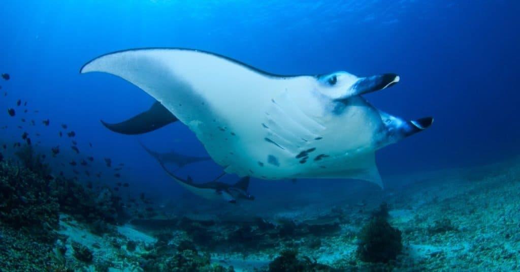 Biggest Fish: Reef Manta Ray