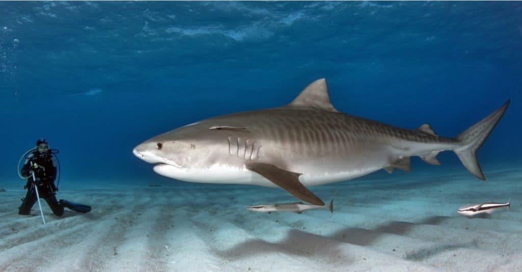 Biggest Fish: Tiger Shark