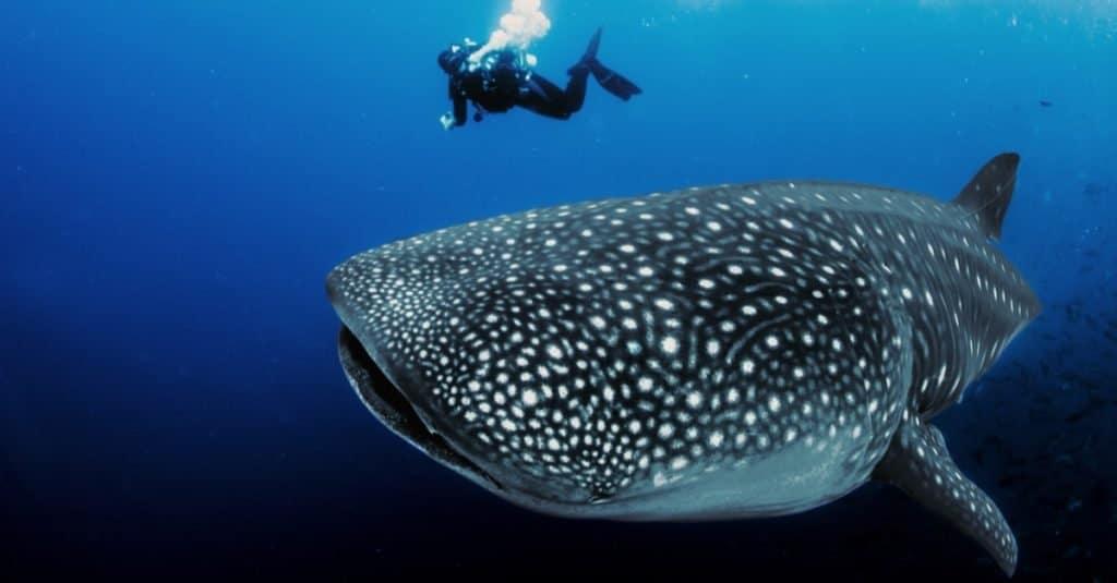 Biggest Fish: Whale Shark