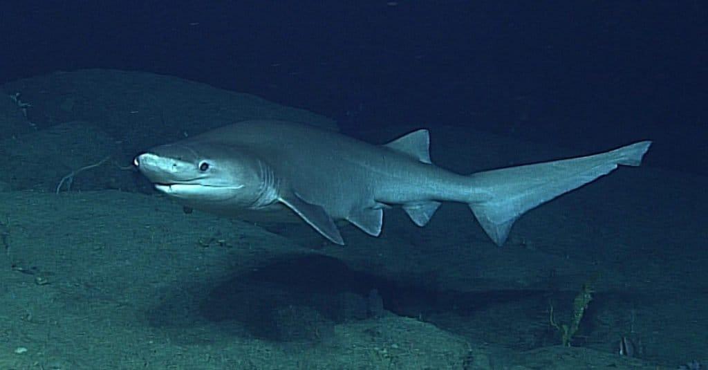 Biggest Shark: Bluntnose Sixgill