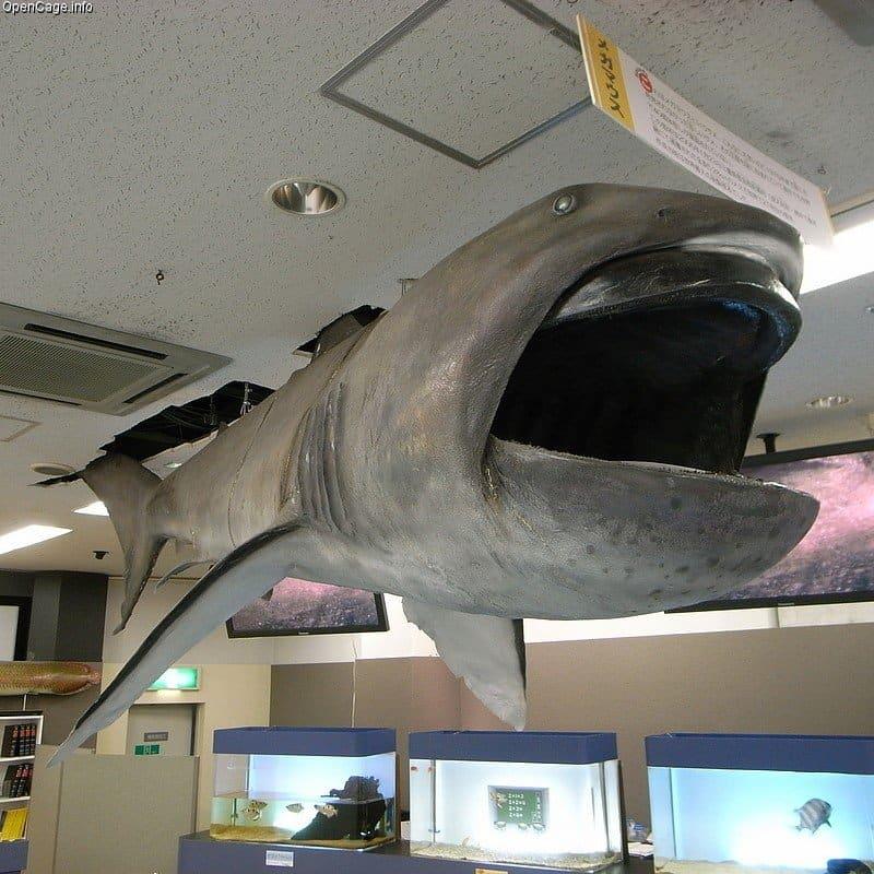 Biggest Shark: Megamouth
