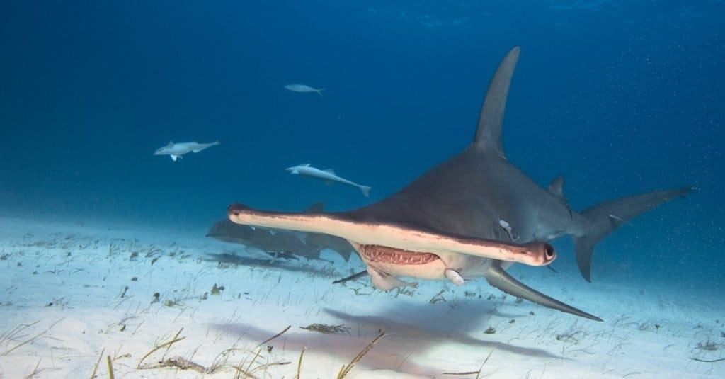 Biggest Shark: Great Hammerhead