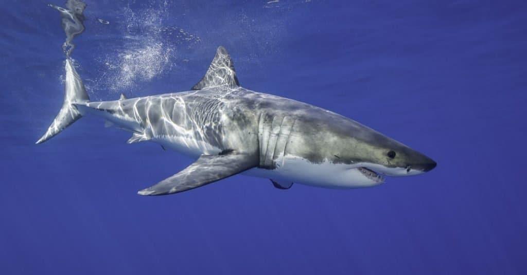 Biggest Shark: Great White
