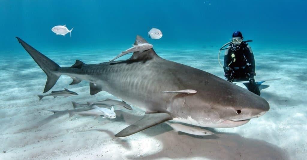 Biggest Shark: Tiger