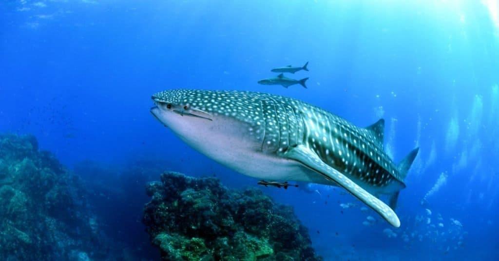 Biggest Shark: Whale Shark