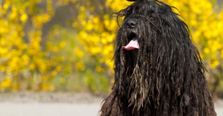 Black Bergamasco with its tongue out