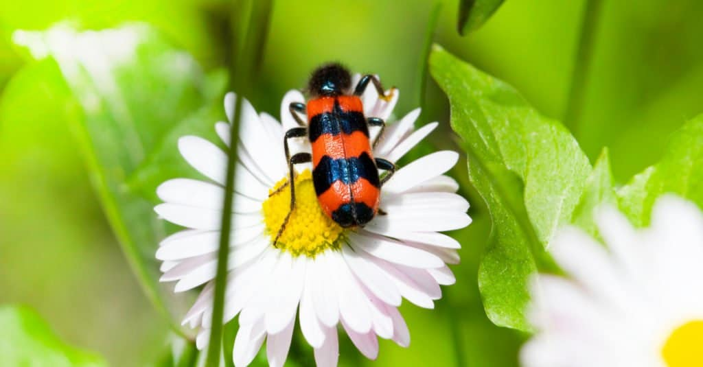 Blister Beetle on a chamomile flower
