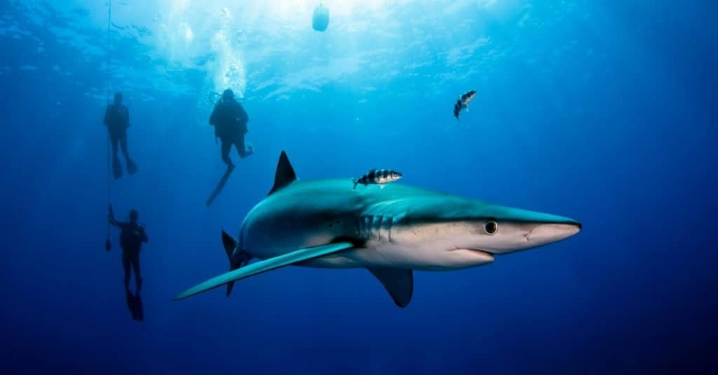 A Blue shark swimming with divers.