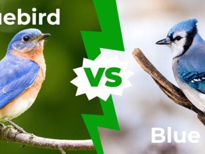 A Bluebird vs Bluejay: Five Main Differences Explained