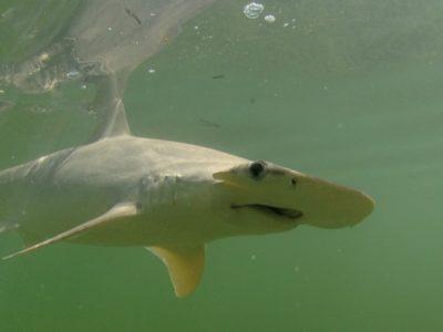 A Sphyrna tiburo