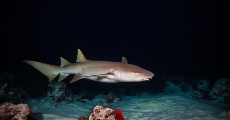 Bonnethead shark hunting on a sandy stretch of sea at night.