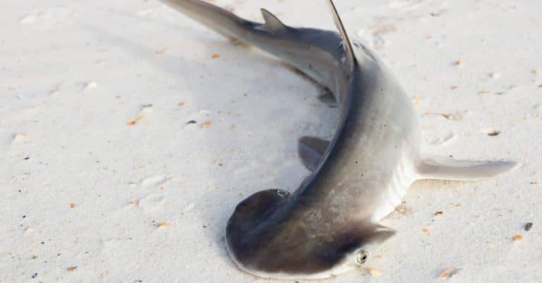 The bonnethead shark or shovelhead, Sphyrna tiburo, stranded on a sandy beach.