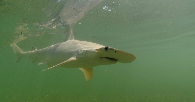 A Bonnethead shark swimming in the ocean.