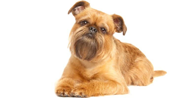 Brussels Griffon-Isolated