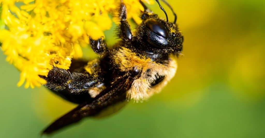 Do bumble bees sting