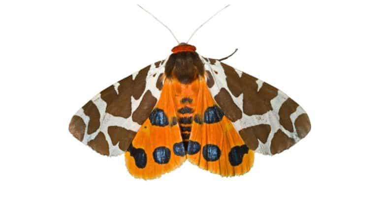 Butterfly tiger moth