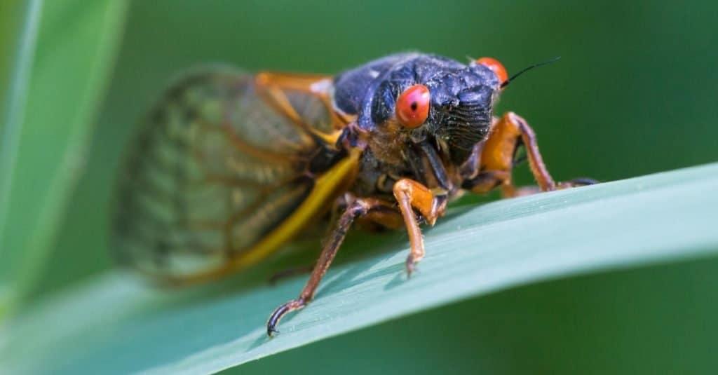 Where Are Cicadas Located