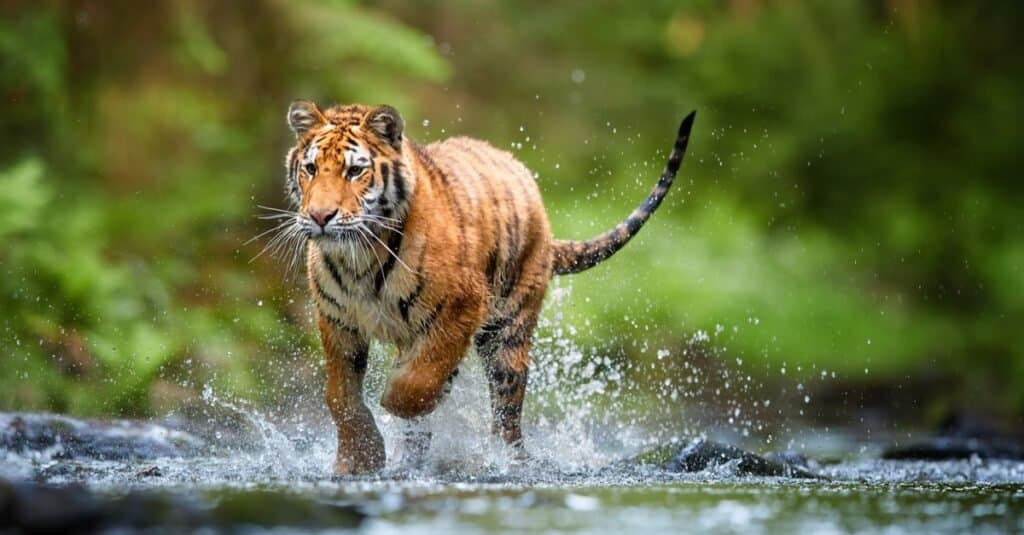 Coolest Animals - Tiger