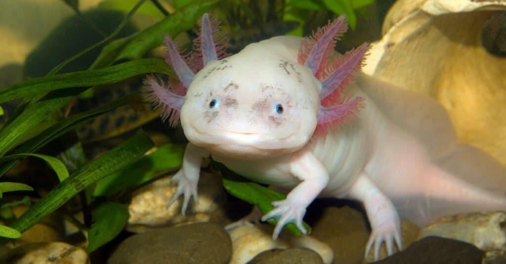 Coolest Animals: Axolotl