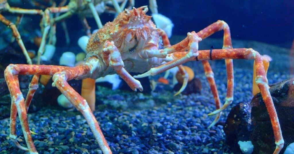Coolest Animals: Japanese Spider Crab