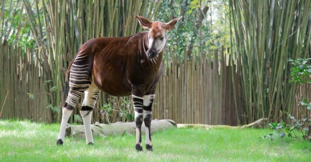 Coolest Animals: Okapi