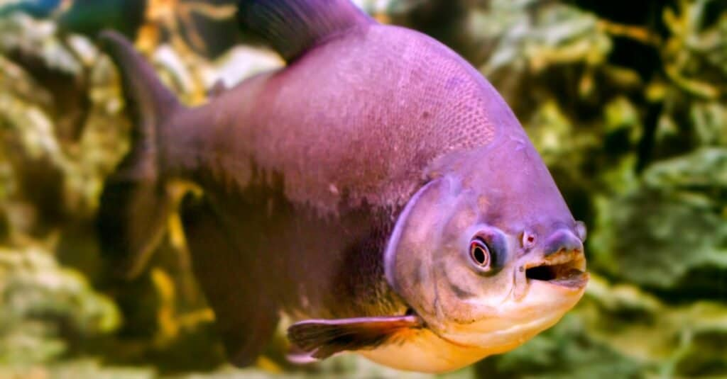 Coolest Animals: Pacu Fish