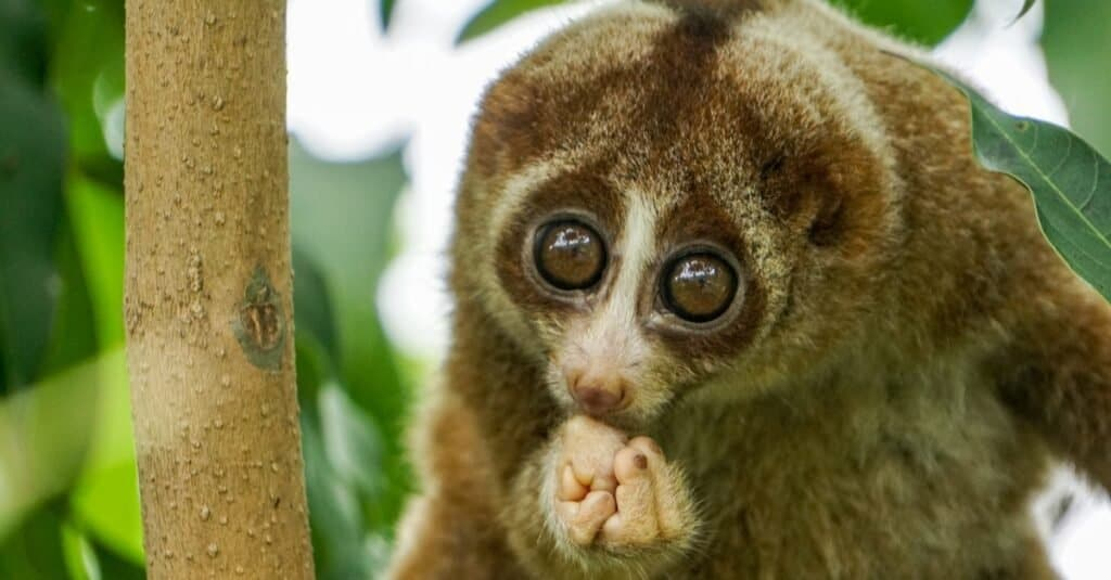 Coolest Animals: Slow Loris