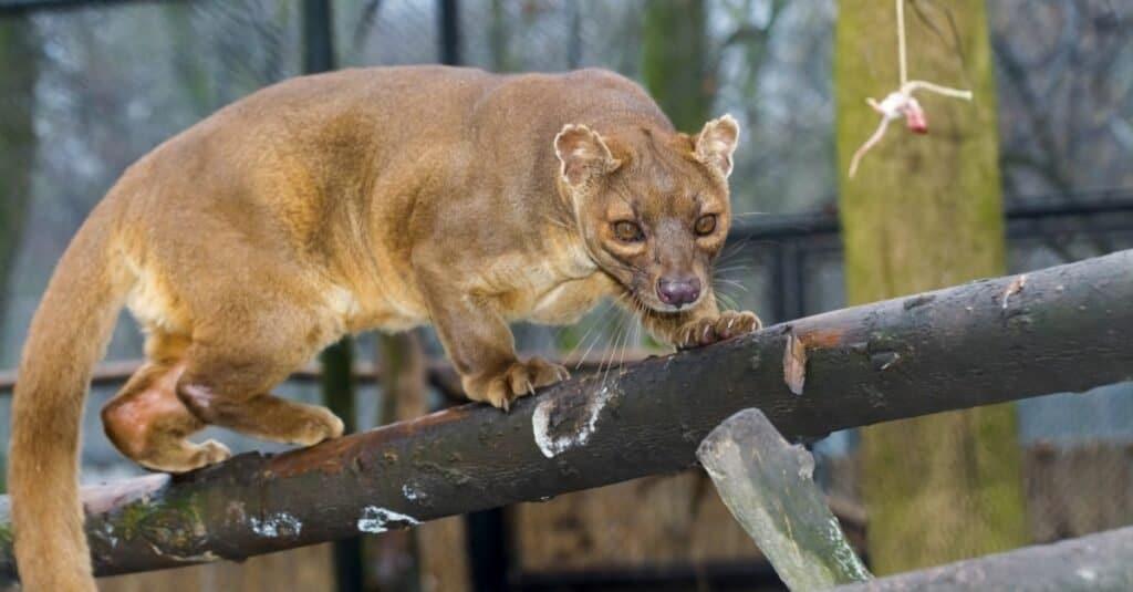 Coolest Animals: The Fossa