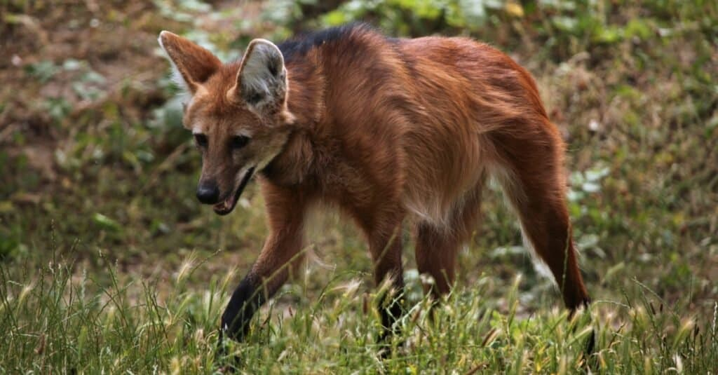 Coolest Animals: The Maned Wolf
