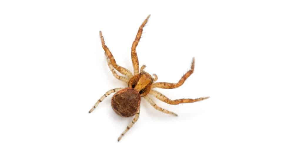 Crab Spider on white background