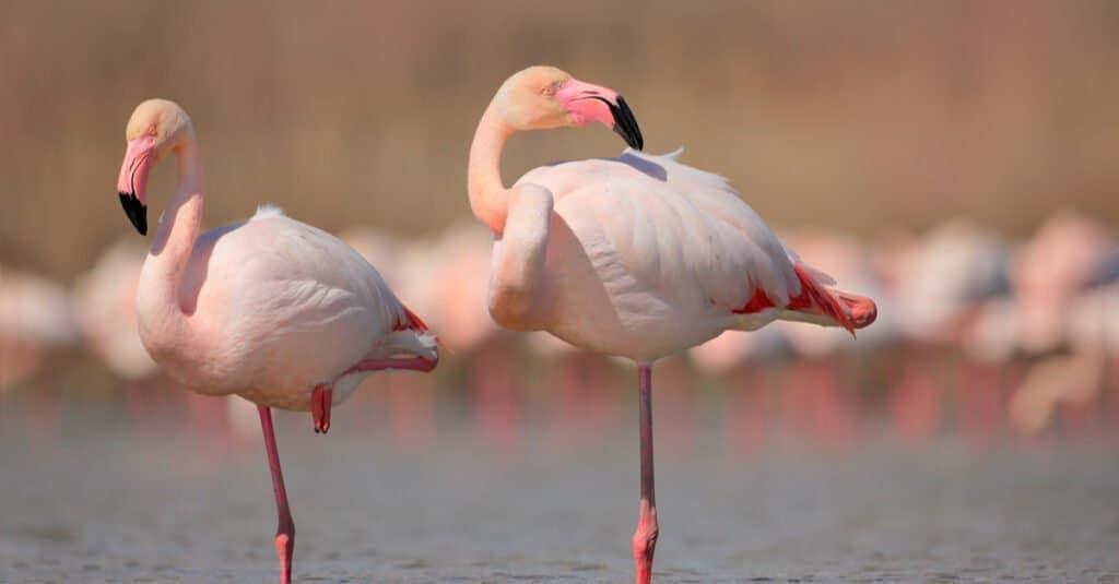 Animal migration - flamingo