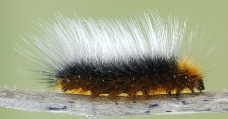 Garden tiger moth caterpillar