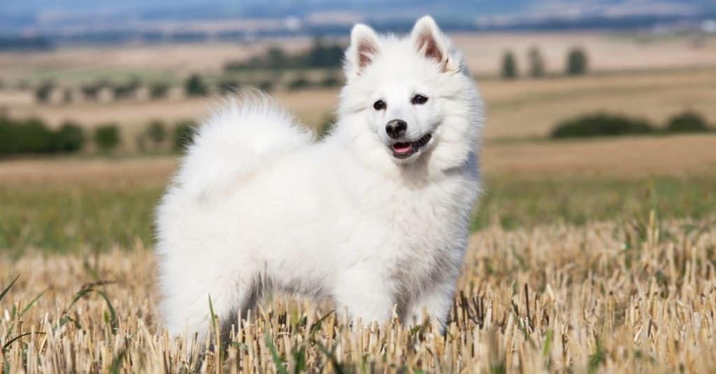 German Spitz playing outside in a wheat field.