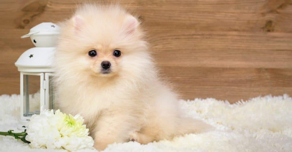 German Spitz puppy lying on a rug.