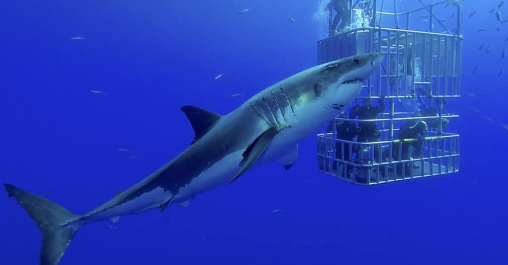 鲨鱼是哺乳动物吗?