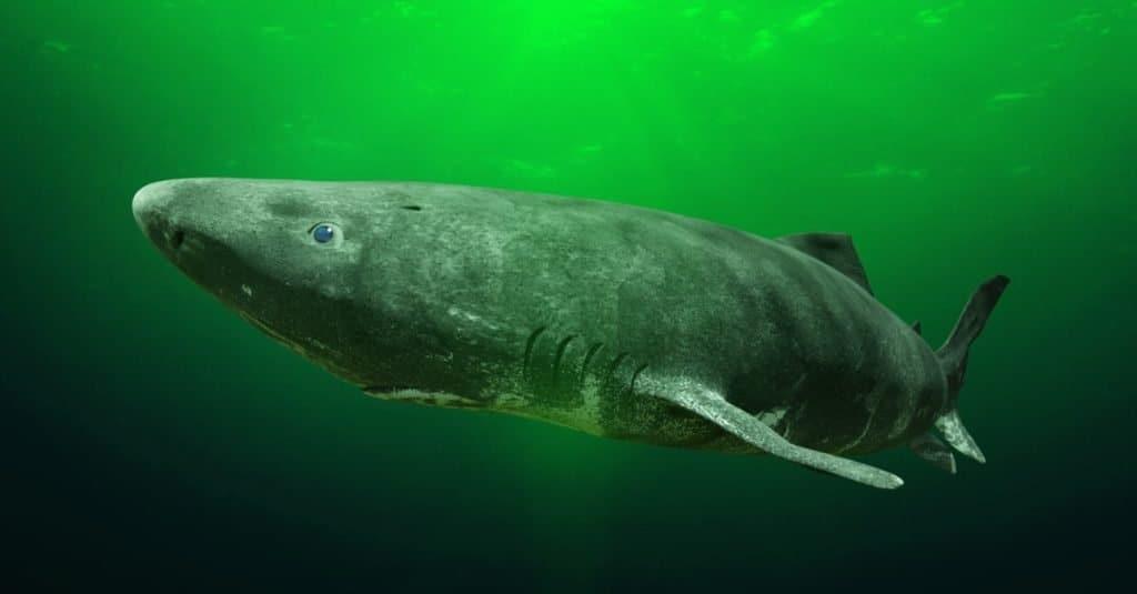 Greenland shark near the ocean ground, Somniosus microcephalus - shark with the longest known lifespan of all vertebrate species.