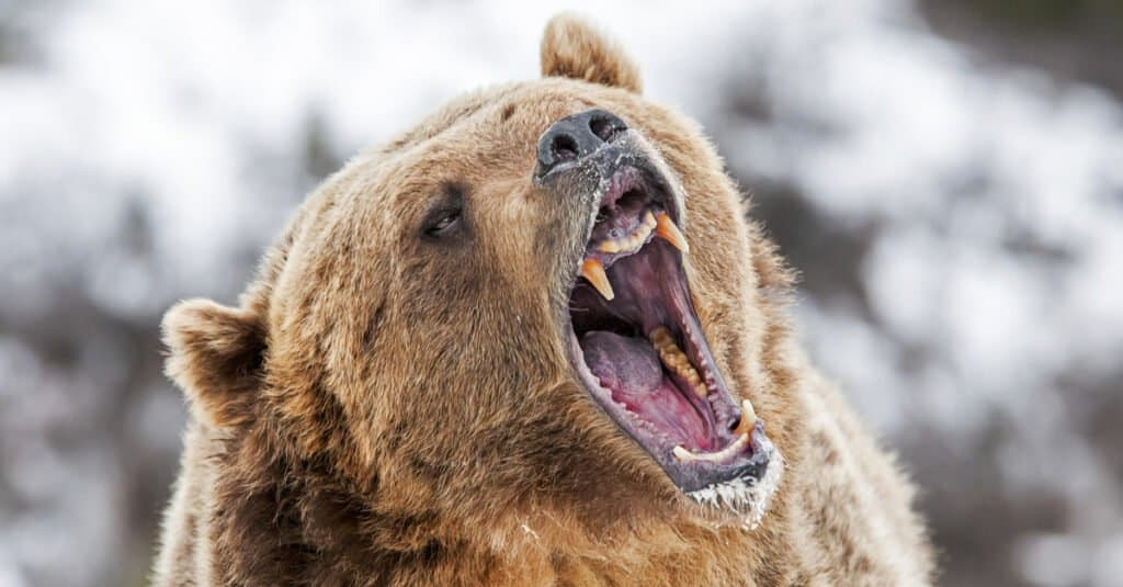 Strongest animal bite – Grizzly bear