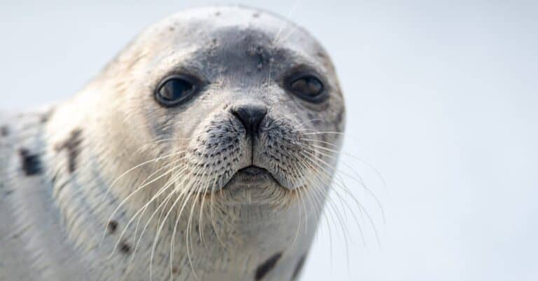 A close up of a harp seal with long whiskers, dark eyes, and a heart shaped nose. The animal has a grey coat with dark spots.